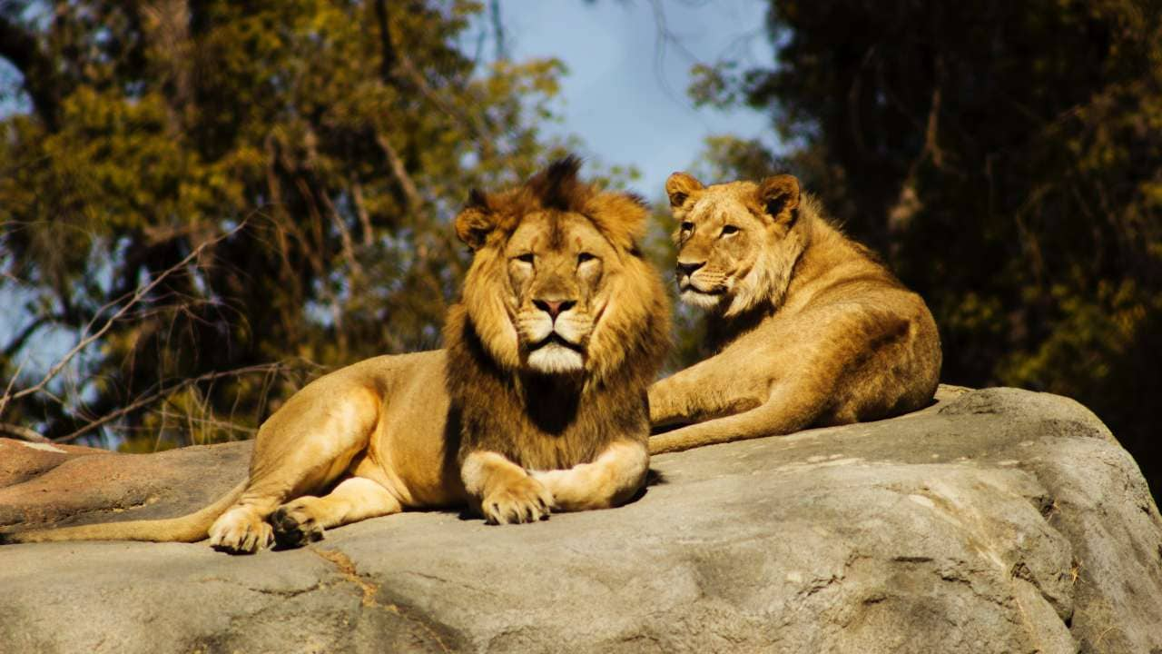 South Africa plans to shut down controversial lion processing industry - Technology News, Firstpost